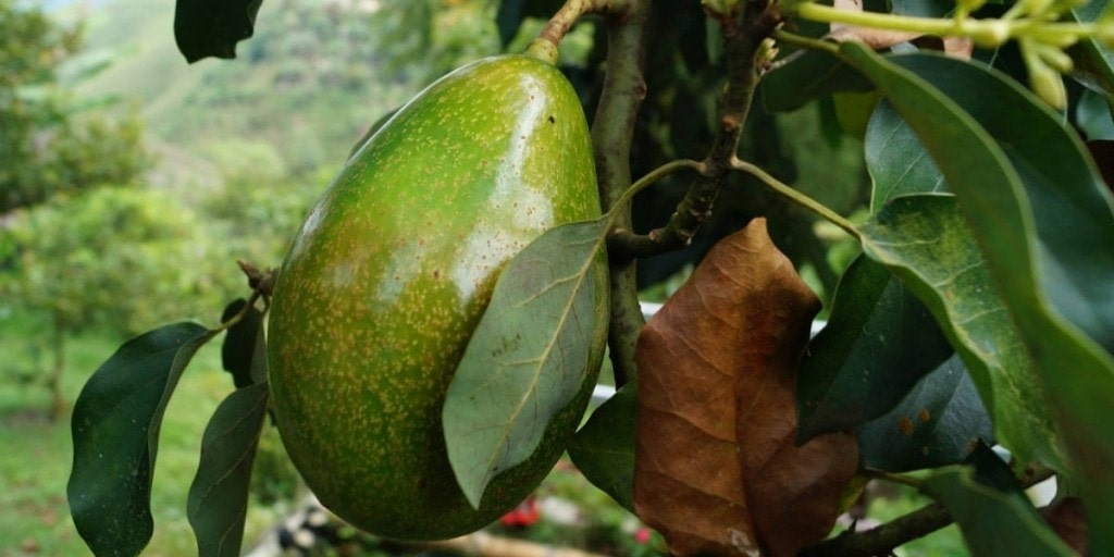 avocado in wild 1024x512 - How to lower blood pressure naturally + the best supplements for hypertension